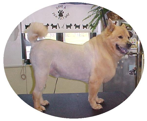 Chow-Chow%20in%20a%20lion%20cut2.jpg