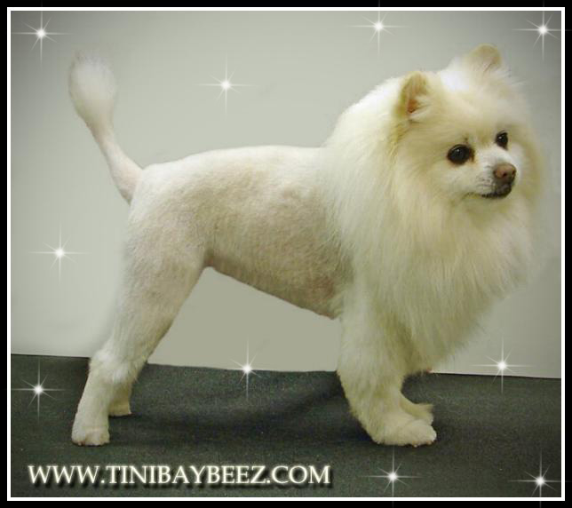 Tinibaybeez- Creative Dog Grooming by Tina Nichols in ...White Pomeranian Lion Cut